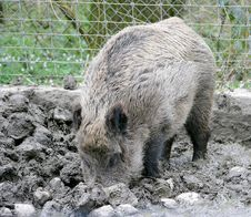 Free Wild Boar 3 Royalty Free Stock Photography - 2220617