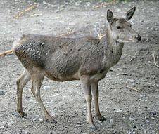 Free Deers 9 Stock Images - 2221444
