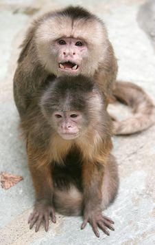 Free White-fronted Capuchin 1 Stock Image - 2221941