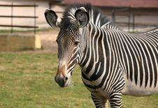 Free Zebra Royalty Free Stock Photography - 2222037