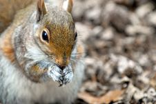 Free Squirrel Royalty Free Stock Images - 2222229