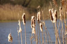 Free Reeds On A Spring Day Royalty Free Stock Images - 2222519