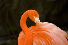 Free Flamingo Grooming Royalty Free Stock Photography - 2223367