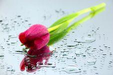Free Tulip Stock Image - 2223921