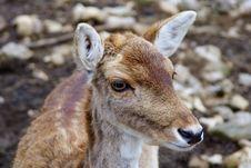 Free Deer Glance Stock Images - 2224584