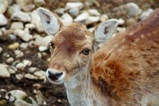 Free Beautiful Deer Stock Photography - 2224602