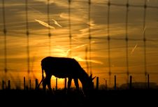 Sunset With Backlit Mule Stock Photo