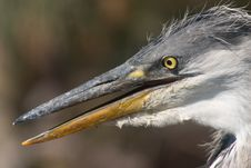 Free Heron Bird Head Stock Photo - 2225660