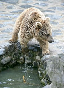 Syrian Brown Bear 4 Royalty Free Stock Images