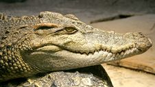 Free Siam Crocodile 1 Stock Photo - 2227680