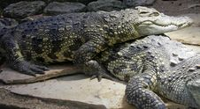 Free Siam Crocodile 3 Royalty Free Stock Photography - 2228037