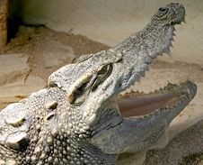 Free Siam Crocodile 5 Stock Photography - 2228372