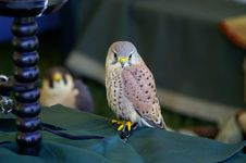Free European Kestrel Stock Photography - 2228442