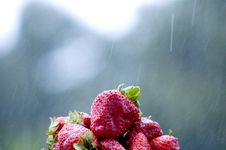 Free Strawberries And Rain Stock Photo - 2228760