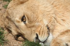 Free Laying Lioness Royalty Free Stock Photography - 2229317