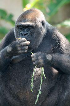 Free Gorilla Eating Stock Photos - 2229573