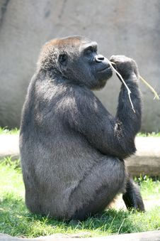 Proud Male Gorilla Stock Photo
