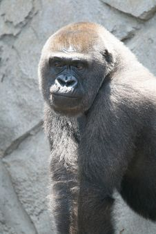 Free Sorry Looking Gorilla Royalty Free Stock Images - 2229959
