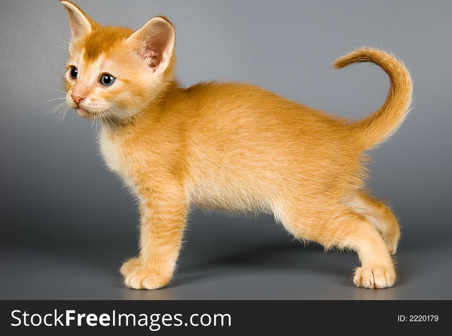 Kitten Of Abyssinian Breed Free Stock Images Photos 2220179 Stockfreeimages Com
