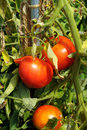 Free Bunch With Three Big Red Tomatoes Stock Photos - 22207153