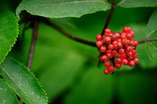 Free Red Berries Stock Photography - 22200042