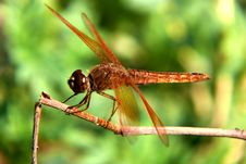 Free Golden Dragonfly &x28;Flame Skimmer&x29; Royalty Free Stock Image - 22201226