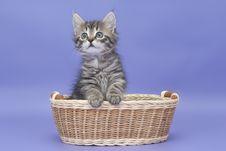 Free Siberian Kitten Royalty Free Stock Photos - 22201408