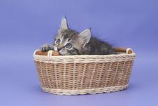 Free Siberian Kitten Stock Image - 22201421