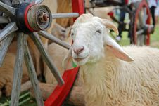 Free Sheep Stock Images - 22209864