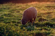 Free Sheep In The Meadow Stock Photo - 22213100