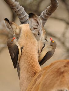 Oxpecker On The Head Stock Images