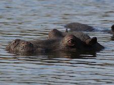 Free Hippopotamus In The Water Royalty Free Stock Photos - 22218348