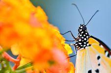 Close Up Butterfly On Lantana Camara Royalty Free Stock Photo