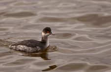Free Black-necked Grebe Royalty Free Stock Image - 22219476