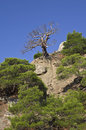 Free Dead Pine Tree In The Mountains. Royalty Free Stock Photos - 22221238
