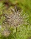 Free Spiky Plant Pulsatila Halleri Stock Photo - 22228770