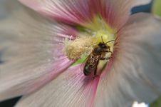 Free Cane Rose Stock Image - 22223231