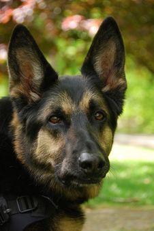 Free German Shepherd Portrait Stock Photos - 22224803