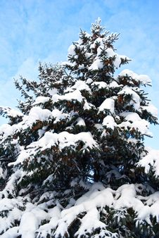 Free Big Spruce, Winter Daytime. Royalty Free Stock Photos - 22228538