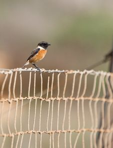 Free A Male Stonechat On A Fence Stock Photo - 22231390