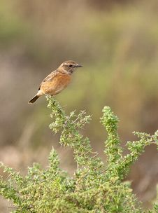 Free Female Stonechat On A Spiny Bush Royalty Free Stock Images - 22231419