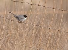 Free The Elusive Sardinian Warbler Stock Photos - 22231433