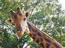 Free Giraffe Stock Photo - 22231780