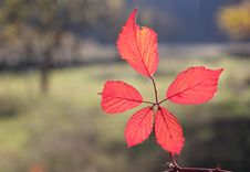 Free Fall Foliage Details - Vivid Red Leaves Stock Photography - 22233442