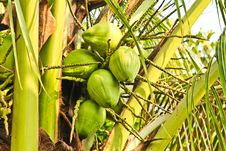 Free Coconuts Stock Photography - 22234172