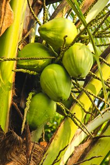Free Coconuts Green Royalty Free Stock Photo - 22234255