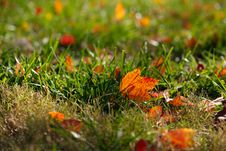 Free Backlit Maple Leaf On Grass Royalty Free Stock Photography - 22239467