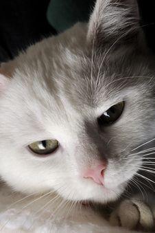 Free White Kitty Cat Portrait Royalty Free Stock Photos - 22256618