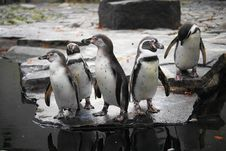 Free Humboldt Penguin Stock Images - 22266514