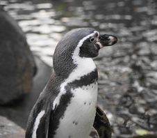 Free Humboldt Penguin Stock Photos - 22266593